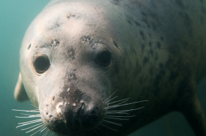 Lundy - Seal